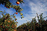 Israel, Shephelah region. Orange grove by route 353 .