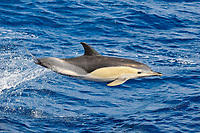 Short-beaked Common Dolphin, Delphinus delphis, breaching clear of the water, north of Faial Island, Azores, Atlantic Ocean
