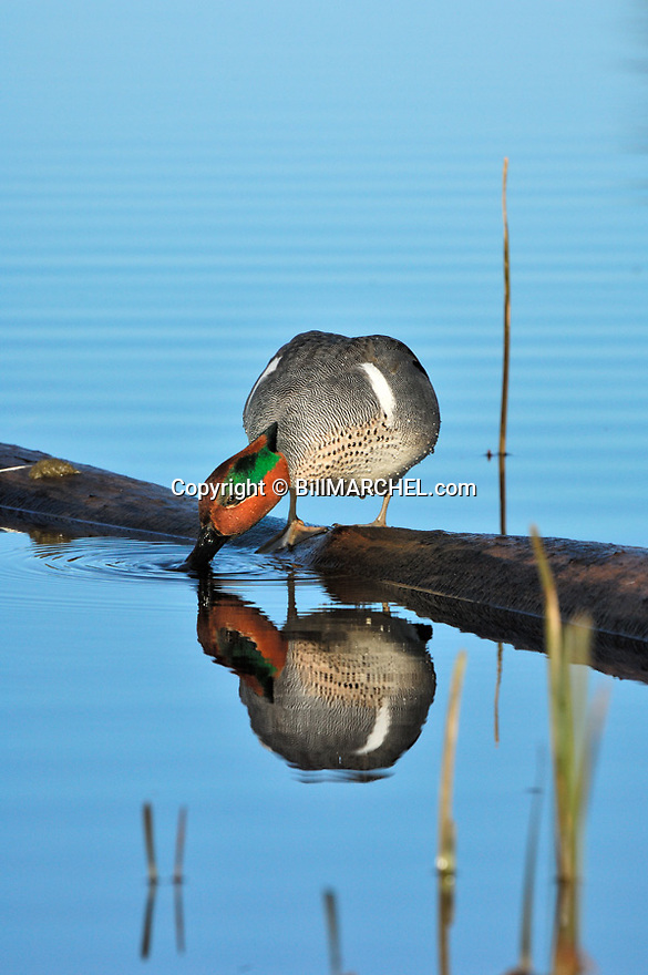 00310-015.15 Green-winged Teal Duck (DIGITAL) is drinking while perched on a log over water and showing reflection.   V3F1