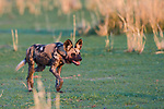 African wild dog / painted hunting dog (Lycaon pictus). South Luangwa National Park, Zambia.