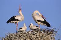 Weiss-Storch, Weissstorch, Weiß-Storch, Weißstorch, Storch, klappernd, Klapperstorch, Paar, Pärchen, Altvögel und Küken auf Nest, Horst, Ciconia ciconia, white stork