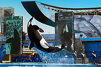 Amazing killer whale jump above the Orca Encounter pool of SeaWorld during a show, in San Diego, California USA