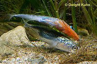 1S53-545z  Threespine Stickleback, male showing gravid female his nest entrance by inserting the tip of snout into nest and turning on side displaying his brilliant red throat, Gasterosteus aculeatus, Freshwater male - Marine female