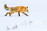 Adult red fox (Vulpes vulpes) walking through deep winter snow. Hayden Valley, Yellowstone, USA. January