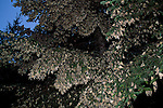 Monarch Butterflies gather in a fir tree at El Rosario Monarch Butterfly Sanctuary in Michoacan, Mexico.