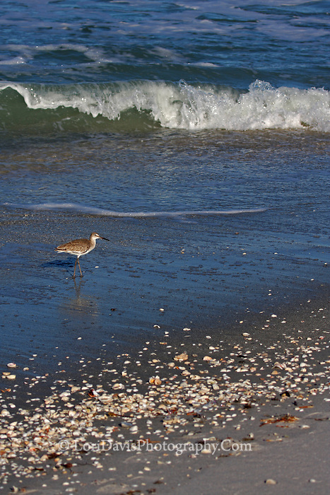 Sandpiper And Wave