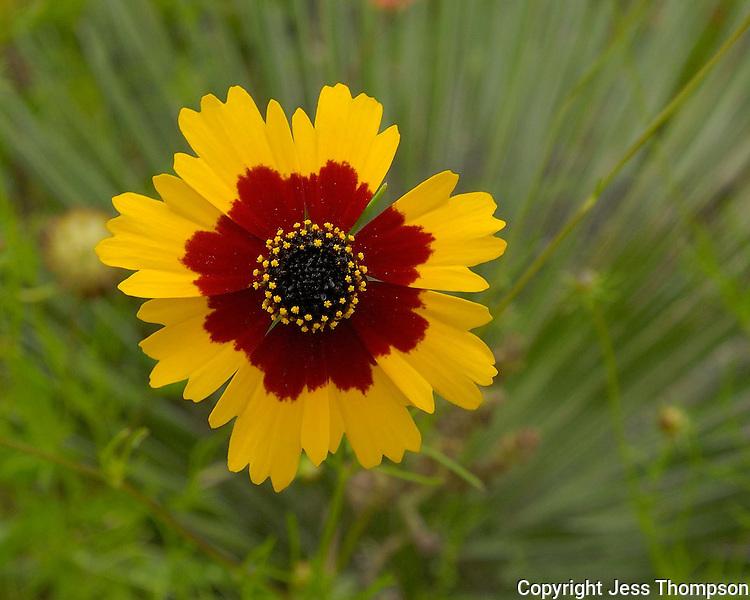 Coreopsis Flower, Llano, TX