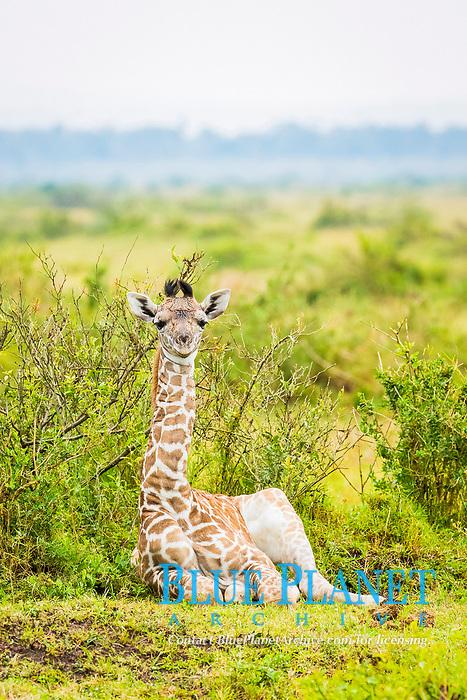 Maasai Giraffe, Maasai Mara National Reserve