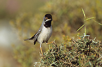 Maskengrasmücke, Masken-Grasmücke, Männchen, Grasmücke, Sylvia rueppelli, Rueppell's warbler
