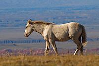Wild colt walks along the plateau edge where Wyoming waits below.