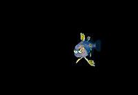 unidentified pelagic Driftfish, photographed during a Blackwater drift dive in open ocean at 20-40 feet with bottom at 500 plus feet below, Palm Beach, Florida, USA, Atlantic Ocean