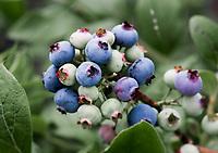 Blueberry bush, New Jersey, USA.