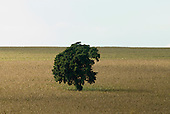 Fazenda Cagibi, Parana State, Brazil. Single tree in the middle of an agricultural field.