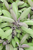 Salvia officinalis 'Purpurescens' purple leaved culinary sage herb leaf details