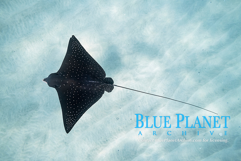 Pacific whitespotted eagle ray or Pacific eagle ray, Aetobatus laticeps, Black Rock, West Maui, Hawaii, USA (Central Pacific Ocean)