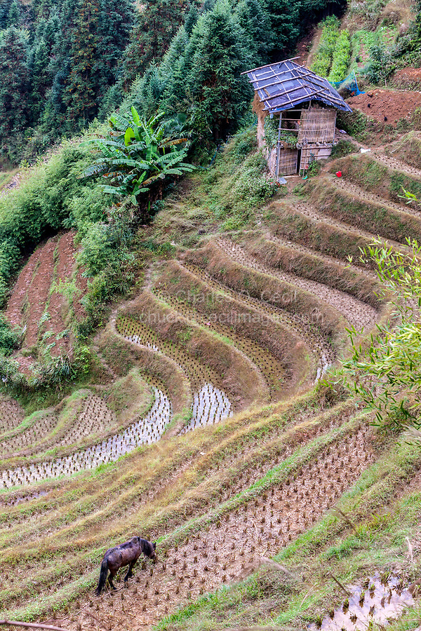 Longji, China.  A Horse Grazes on the Edges of Narrow Terraced Rice Paddies after Harvest.