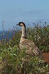 Hawaiian or Nene Goose on a bluff above the ocean in Hawaii.