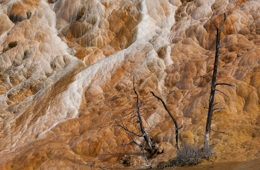 dead trees in Mammoth hot springs, Yellowstone