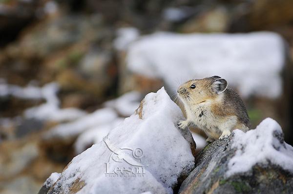 American Pika (Ochotona princeps) in alpine rock field habitat.  Northern Rockies.  Late Fall.