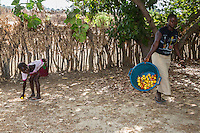 Woman and Young Girl Collect Cashew Apples and Nuts from the Ground, near Sokone, Senegal.  Fruits must be collected after they fall  to the ground, and not picked from the tree.