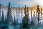 Sunlight filters through early morning mist in the forests of Washington State's Mount Rainier National Park. I was particularly taken with the soothing atmospheric tones, the lacy geometry of the alpine firs, and the subtle shadows and layering. Mount Rainier National Park, Washington, USA.