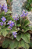 Jardin alpin du lautaret : raimondie des Pyrénées, (Ramonda myconi ou R. pyrenaica), Origine : centre & est Pyrénées, nord-est Espagne // Ramonda myconi or R. pyrenaica (alpin garden of Lautaret, France)