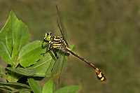 333930002 a wild male cobra clubtail gomphus vastus perches on a plant leaf in independce park along the guadelupe river near the town of gonzales in gonzales county texas