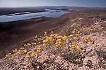 White Bluffs Bladderpod, Lesquerella tuplashensis, new to science plants, Wahluke Slope, Hanford Reach National Monument, Hanford Reach, Columbia River, Washington State, .