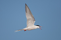 Common Tern (Sterna hirundo) flying back to its nest, Nickerson Beach, Lido Beach, New York
