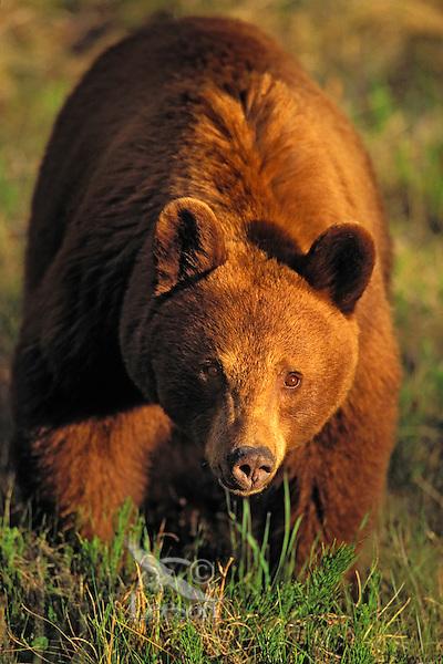 Black Bear sow - cinnamon color phase..Jasper National Park, Alberta, Canada..Rocky Mountains. (Ursus americanus).