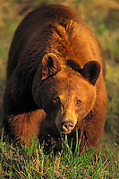 Black Bear sow - cinnamon color phase..Jasper National Park, Alberta, Canada..Rocky Mountains. (Ursus americanus).