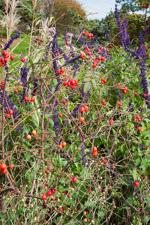 Rosa glauca in rose hips in autumn rosehips