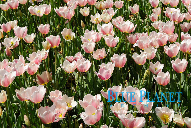 Flower bed of pink tulips blooming in the Dallas Arboretum Park, Texas, USA, United States. This is a seasonal perennial plant that blossoms in the garden or in nature during Spring.