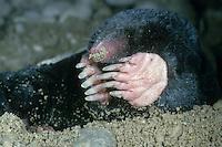 Europäischer Maulwurf, gräbt sich mit seinen Grabschaufeln aus der Erde heraus, Talpa europaea, European mole