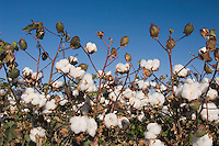 Cotton Plant, Gossypium hirsutum, cotton field, Lubbock, Panhandle, Texas, USA, September 2006