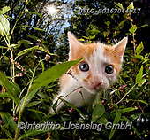 REALISTIC ANIMALS, REALISTISCHE TIERE, ANIMALES REALISTICOS, cats, paintings+++++,USLGSC162044517,#A#, EVERYDAY ,photos,fotos,pounce,cat,cats,kitten,kittens,Seth