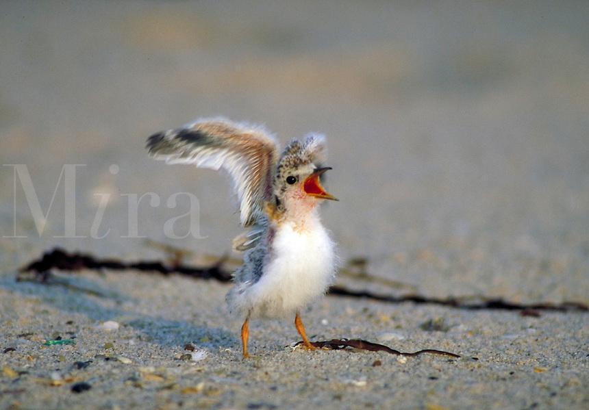 Least Tern chick begging. Birds - chicks, behavior. Long Island New York, Gilgo Beach.