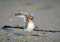 Least Tern chick begging. Birds - chicks, behavior. Long Island New York, Gilgo Beach.
