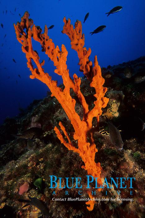 sponge, Axinella cannabina, Ist Island, Croatia, Adriatic Sea, Mediterranean