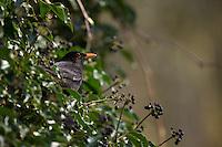 Amsel, Schwarzdrossel, Männchen, frisst an reifen Efeufrüchten, Früchten, Beeren im Frühjahr, Turdus merula, Blackbird, Merle noir