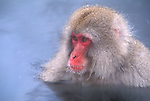 A portrait of Japanese macaque or snow monkey bathing in a hot spring in Jigokudani National Park, Japan.