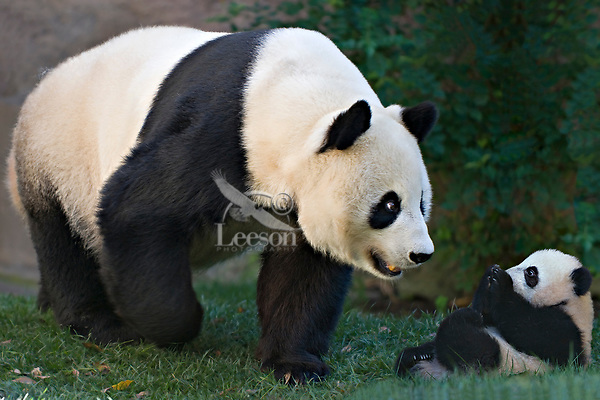 Mother and baby Panda.