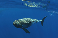 pygmy killer whale, Feresa attenuata, Big Island, Hawaii, Pacific Ocean