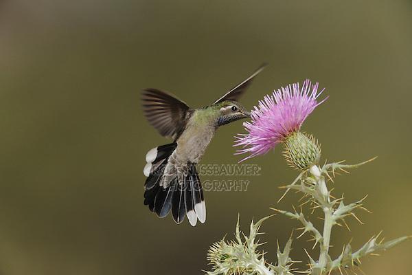 Blue-throated Hummingbird (Lampornis clemenciae), Texas thistle (Cirsium texanum), Chisos Basin, Chisos Mountains, Big Bend National Park, Chihuahuan Desert, West Texas, USA
