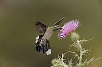 Blue-throated Hummingbird (Lampornis clemenciae), Texas thistle (Cirsium texanum), Chisos Basin, Chisos Mountains, Big Bend National Park, Chihuahuan Desert, West Texas, USA