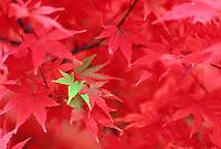 V00132.tif   Japanese Maple in fall color. Near Alpine, Oregon