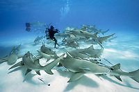 lemon shark, Negaprion brevirostris, with remora, sharksucker, Bahamas, Atlantic Ocean