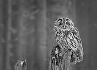 Athene noctua<br /> <br /> A little owl in a winter forest