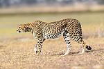 Female cheetah (Acinonyx jubatus). Ndutu area, Serengeti / Ngorongoro Conservation Area (NCA), Tanzania.