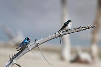 Handsome aerialists with deep-blue iridescent backs and clean white fronts, Tree Swallows(Tachycineta bicolor) are a familiar sight in summer fields and wetlands across northern North America. They chase after flying insects with acrobatic twists and turns, their steely blue-green feathers flashing in the sunlight.